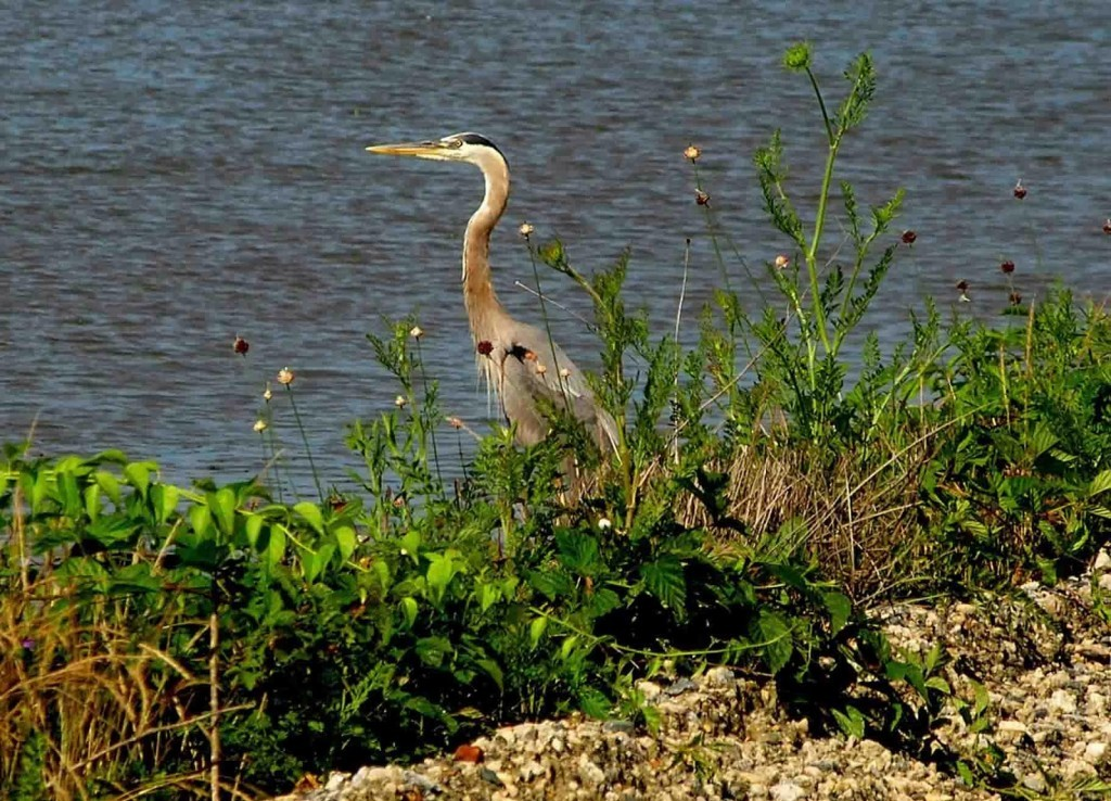 Great blue heron in brush along the edge of the water