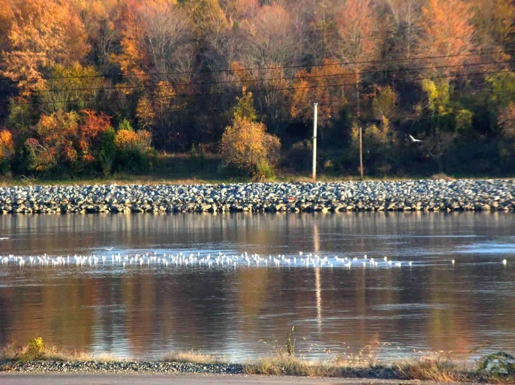 Block of white birds resting on the water of the canal with autumn trees in background