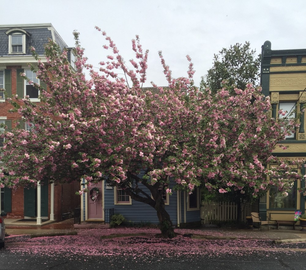 Beatiful flowering cherry blossom tree with pink petals covering the ground